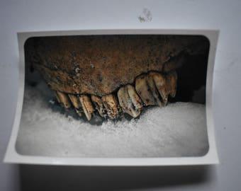 Elk teeth sticker