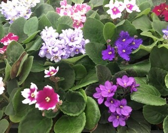 "African Violet Variety Pack (4 Plants) 4"" Pots"