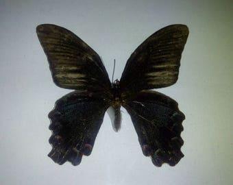 Tropical butterfly Papilio Memnon 1960 Leningrad vintage