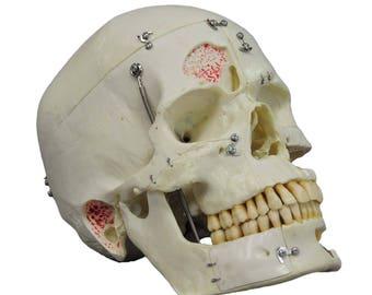 anatomical teaching modell - human skull