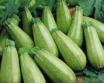 Summer squash - 10 seeds - kungulleshka