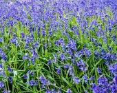 Bluebells Blank Greetings...