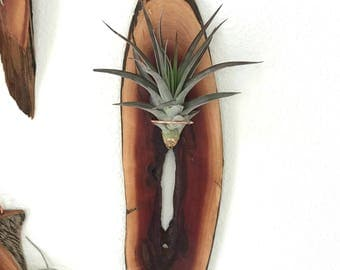 Air Plant Wall Hanging- Manzanita Slab  Air Plant included