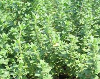 Common Thyme Herb Seeds 200 seeds
