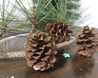 "Medium Ponderosa Pinecones | For use in Wreaths or Rustic Decor and Crafts | 3""-4"" 
