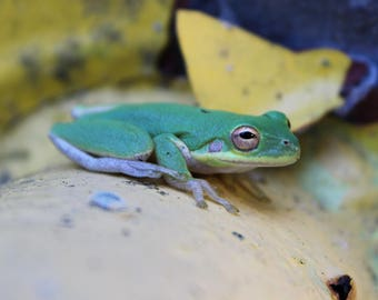 American Green Tree Frog - Digital Download