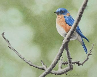 Eastern Bluebird/Fine Art Limited Edition Print/Pastel Drawing/Signed Print/Wall Decor/Bird Illustration/Wall Art/Animal Print/Nature/Giclee