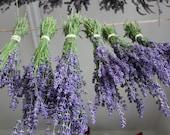 Lavender Fresh Cut Stems