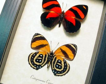 Fathers Day Gift Real Framed Blood Red and Black and Orange Catagramma Cynosura Butterfly Pair 714P