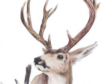 Majestic Deer - 8 x10 Fine Art Print- Mule Deer - By Laura Airey Le