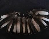 "x13 Wing Covert Feathers - 4 1/4 - 6"" - Domestic Heritage Turkey - meleagris gallopavo HTF5591RA"