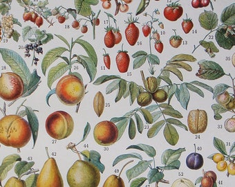 Original Antique Book Illustration FRUITS by ADOLPHE MILLOT from Larousse published 1930
