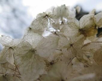 Botanical photo Hydrangea by Stef Mitchell 8 x 10 Modern contemporary decor