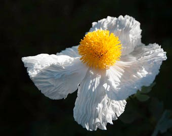 Botanical Print - Sun-Kissed - Flower Photography - Black, White, Golden -  NATURE Wall Decor - Fine art photography -