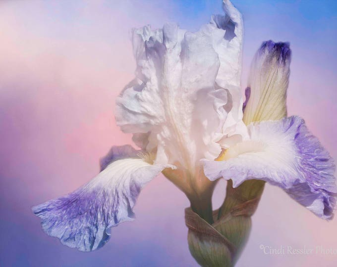White Bearded Iris, Flower Photography, Floral Photography, Nature Photography, Botanical, Garden Photography, Fine Art Photography