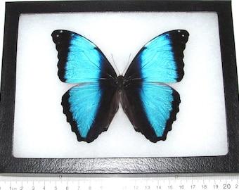 Real framed butterfly blue morpho deidamia Peru