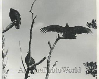 Turkey+vultures+birds+on+tree+branches+vintage+photo+by+Leonard+Lee+Rue+III