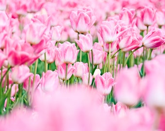 Pink Tulips Gathering with Green 4x6, 5x7, 8x10, or 11x14