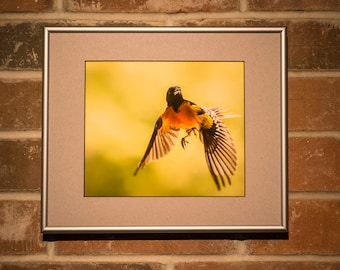 Framed Fine Art Photograph of Baltimore Oriole in Action