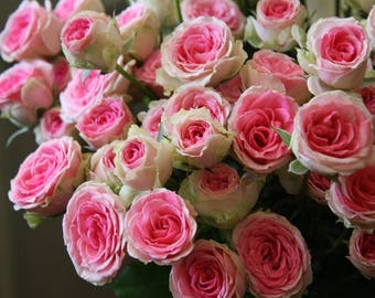 Climbing fuksia white roses,174, fuksia rose,roses seeds,planting roses,growing roses from seeds