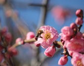 Prunus mume, over 10 Seeds, (EXTRA QUALITY) bees, beekeeping, Honey