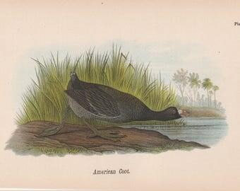 1890 Birds of Pennsylvania Shore Birds American Coot Plate 8