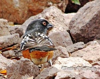 Spotted Towhee | Fine Art Bird Photography | Songbird on Rocks | Southwest Desert Bird | Black Orange White | Nature Photo Art | Bird Print