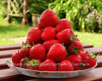 50 Seascape Ever Bearing Strawberry Plants - CERTIFIED Healthy Bare Root Dormant Plants