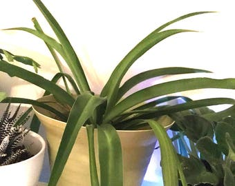 Spider plant etsy for Are spider plants poisonous to cats