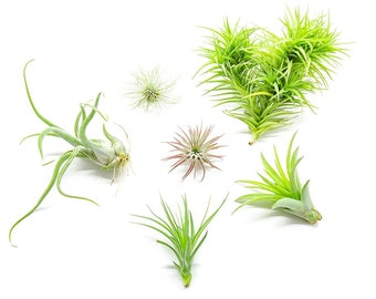 6 Air Plant Variety Pack - Assorted Species of Live Tillandsia House Plants