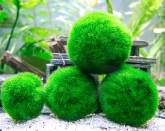 10 Giant Marimo Moss Balls - 8-15 Years Old! - 2 to 2.5 inches - For Terrariums & Aquariums - Ships from USA - Live Arrival Guaranteed!