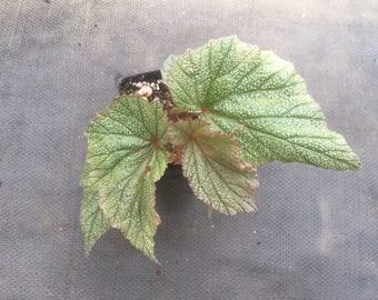 Begonia 3 pack