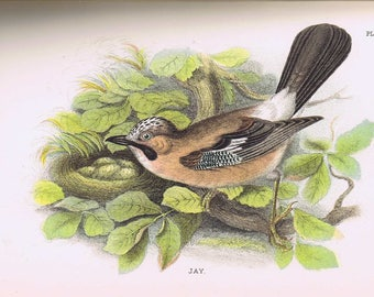antique print Jay 1896
