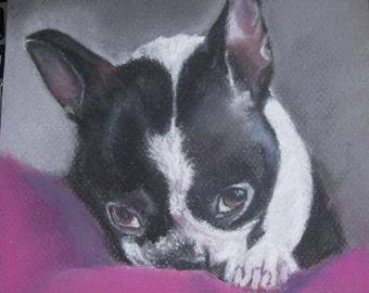 Boston Terrier pastel painting