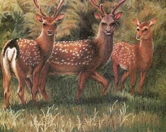 Sika Deer deer, wildlife, animal prints, bird prints, wildlife prints, animals, birds