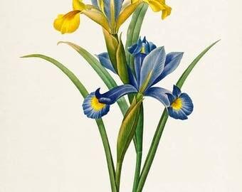 Spanish Iris Flower Art Print, Botanical Art Print, Flower Wall Art, Flower Print, Floral Print, Redoute Art, blue yellow, Iris xiphium