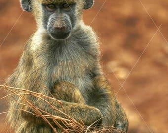Kenya Safari, Baby Baboon, Monkey, Animal Wildlife Photograph, Wall Decor