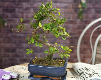 Bonsai Elm Parvifolia S Style 7 years Old Garden Plant Pot  - 1 tree