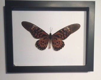 Papilio atimachus Framed butterfly
