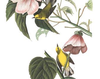 Audubon's Plate 20 Blue-Winged Yellow Warbler Cross Stitch Pattern