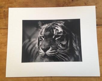 A Tiger's Gaze Photograph