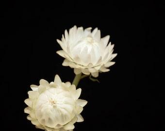 White Flower Photograph, Strawflower Photo, Nature Print, Wall Art - black and white, floral home decor, Botanical prints, Wall Decor, Creme