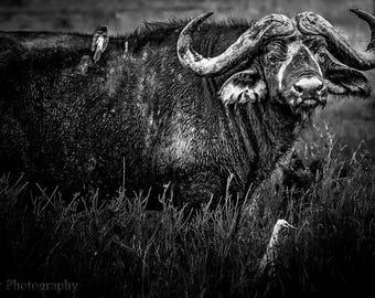 Cape Buffalo,Black and White, Oversize,Africa,Tanzania,Wildlife,Big Five,Wall Art,Home Decor,Canvas Photography,Safari
