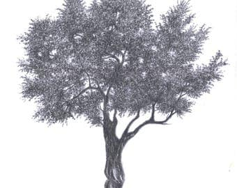 Olive Tree Drawing