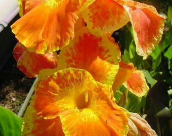 3 Yellow Red Florence Vaughan Canna Lily / Lillies Bulbs Rhizomes Plants 6' Tall Gorgeous Gardens/Ponds SALE