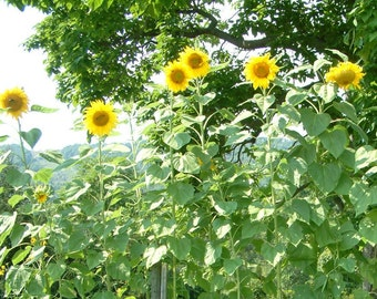 Sky Scrapper Sunflowers
