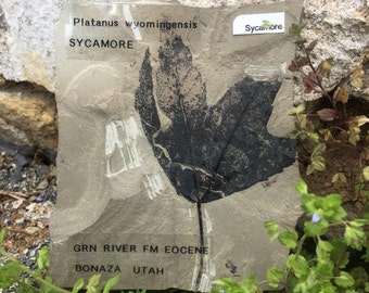 Fossil Leaf - Sycamore