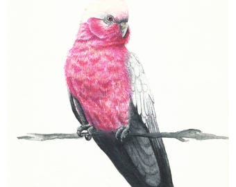 Art Print - Galah Illustration Watercolour