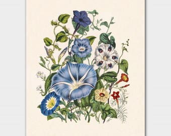 "Blue Botanical Print, Cottage Chic Decor (Floral Wall Art, Victorian Flower Art) ""Morning Glory"""