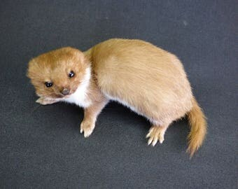 TAXIDERMY Adult Weasel (log no:16). A Free Standing Mount. Length 15cm. Stoat Family.